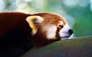 Animal-Small-Panda-Sleep-Tree