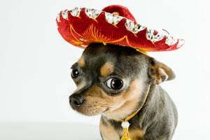 399634-puppies-chihuahua-with-sombrero