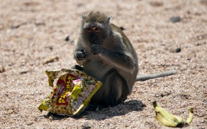 macaque_monkey_eating_peanuts_ao_nang_beach_krabi_thailand