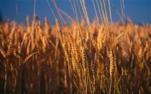 wheat-460x288