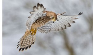 Female-Eurasian-Kestrel-h-006